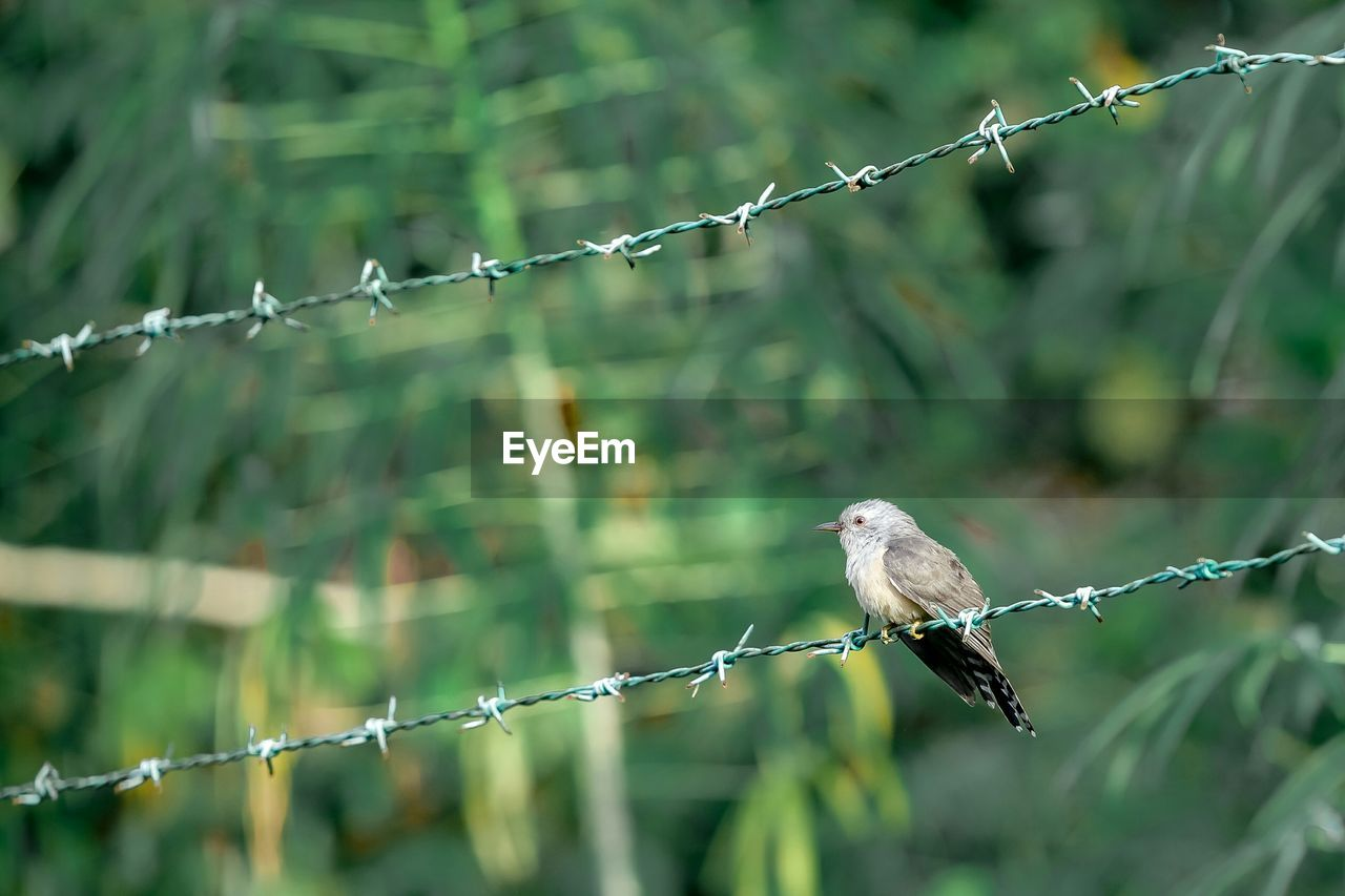 focus on foreground, barbed wire, safety, perching, fence, vertebrate, animal, protection, animal themes, security, wire, nature, bird, barrier, metal, boundary, day, no people, animals in the wild, one animal, outdoors
