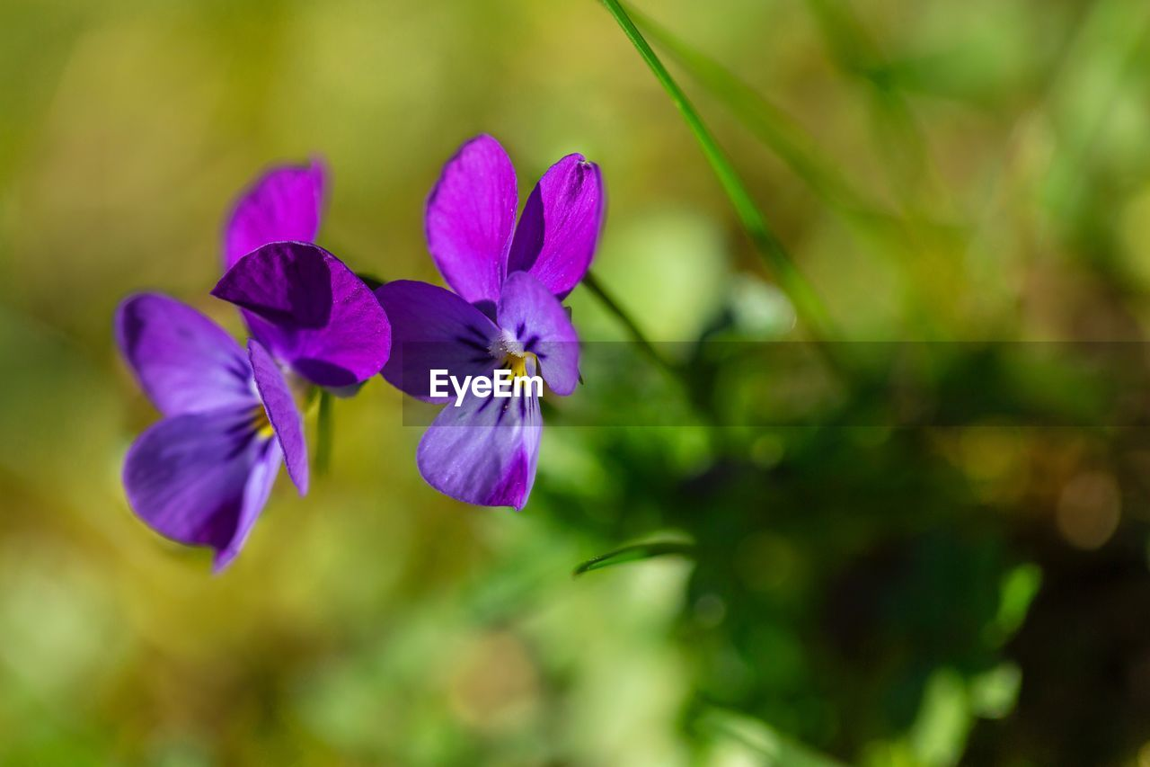 flower, flowering plant, beauty in nature, vulnerability, plant, fragility, petal, growth, close-up, freshness, purple, inflorescence, focus on foreground, flower head, no people, nature, day, outdoors, selective focus, green color