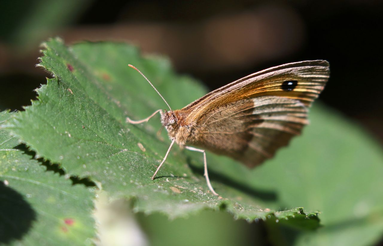 leaf, one animal, insect, animal themes, butterfly, animals in the wild, nature, no people, plant, butterfly - insect, outdoors, close-up, day