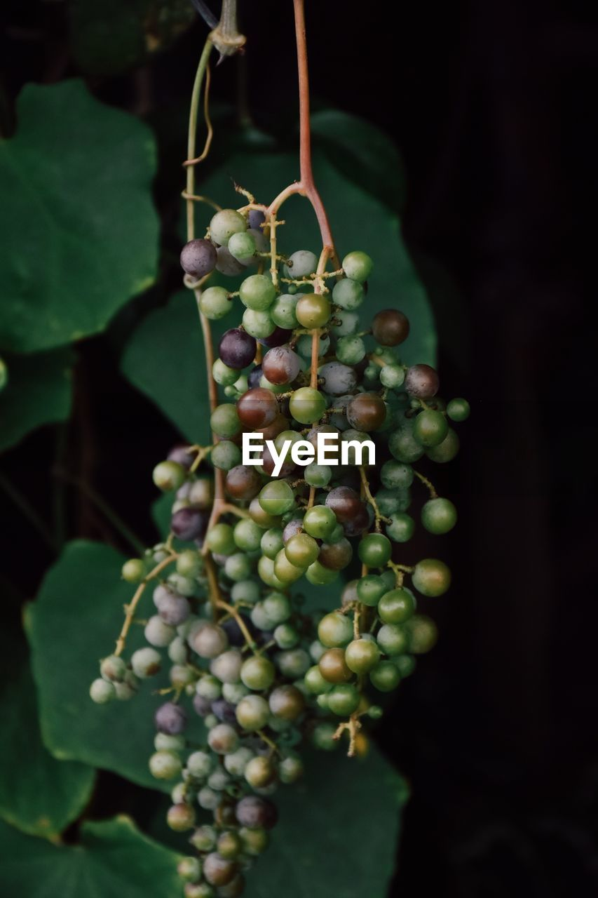 food and drink, healthy eating, freshness, fruit, food, green color, growth, plant, close-up, no people, nature, wellbeing, agriculture, bunch, plant part, focus on foreground, leaf, hanging, beauty in nature, grape