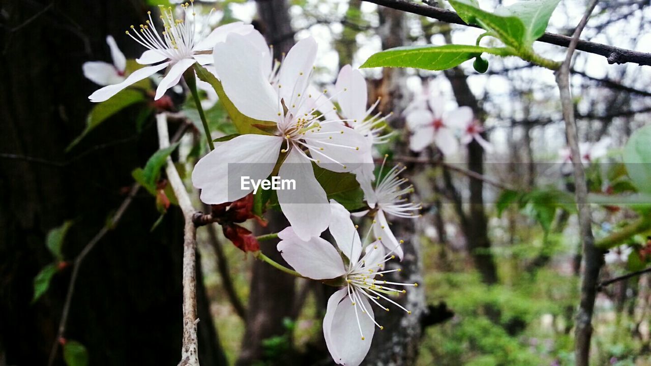 white color, flower, fragility, growth, tree, beauty in nature, blossom, petal, branch, freshness, nature, apple blossom, twig, flower head, no people, springtime, close-up, focus on foreground, day, outdoors, blooming