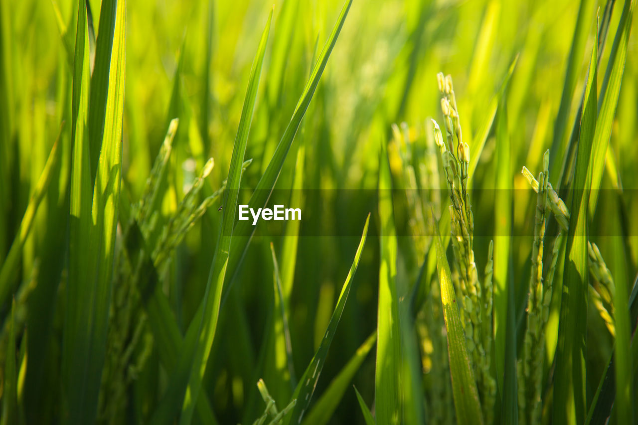 growth, green color, grass, nature, bright, plant, green, outdoors, tranquility, close-up, day, freshness, beauty in nature, backgrounds, ear of wheat, no people, wheat