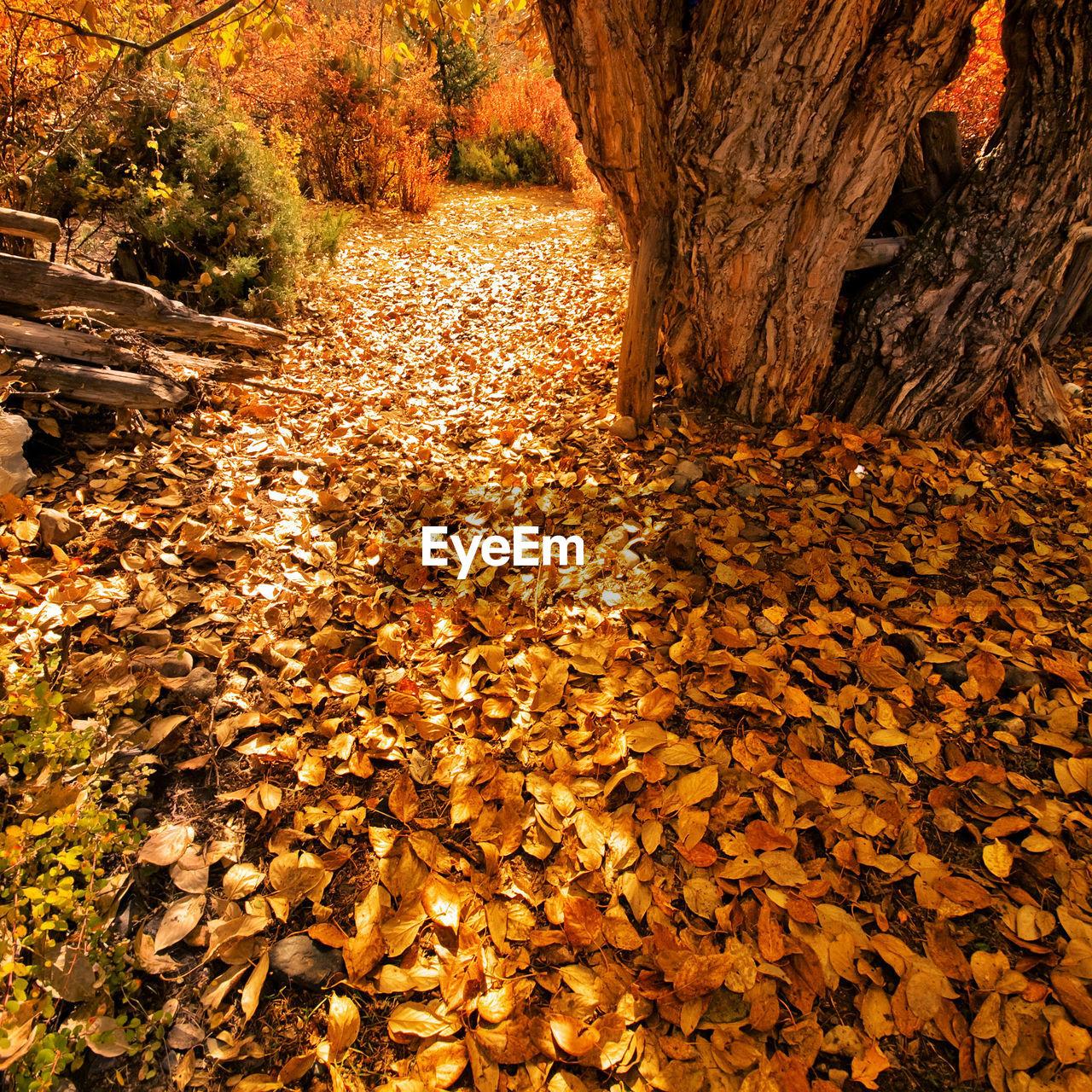 Fallen Maple Leaves In Forest