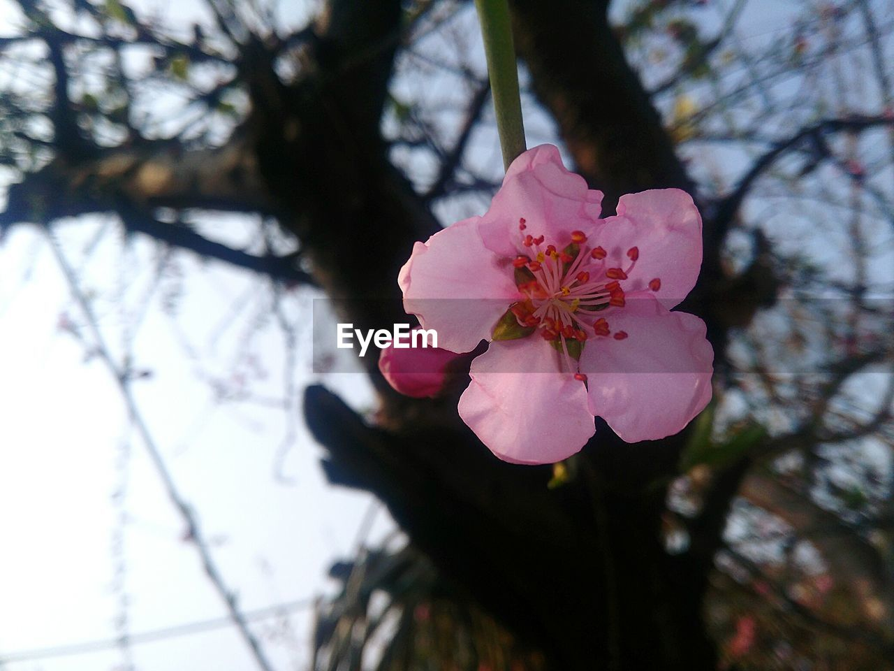 flower, fragility, beauty in nature, petal, growth, nature, pink color, flower head, blossom, freshness, branch, tree, springtime, botany, no people, focus on foreground, day, close-up, twig, stamen, pollen, plum blossom, outdoors, blooming