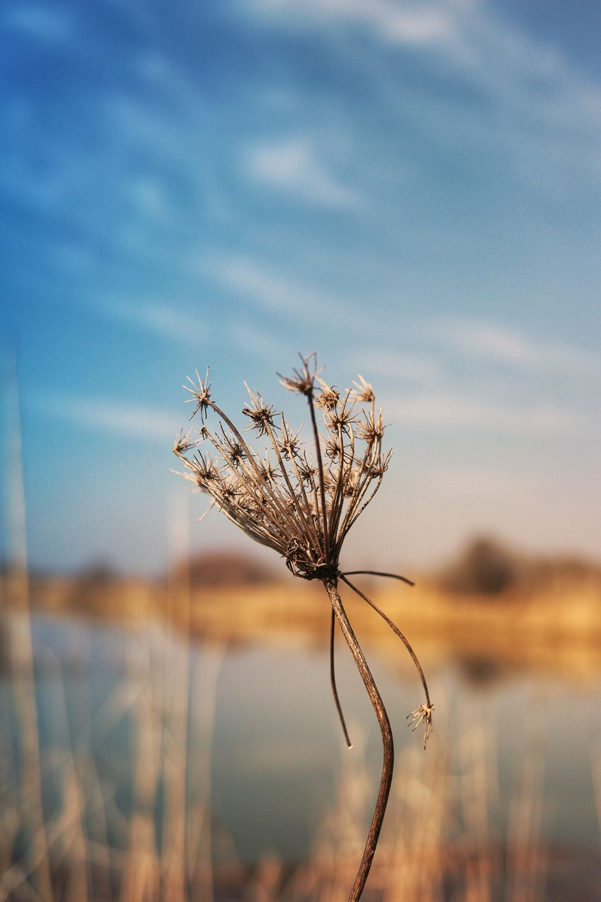 nature, beauty in nature, tranquility, sky, focus on foreground, plant, no people, outdoors, growth, dried plant, day, flower, fragility, water, close-up