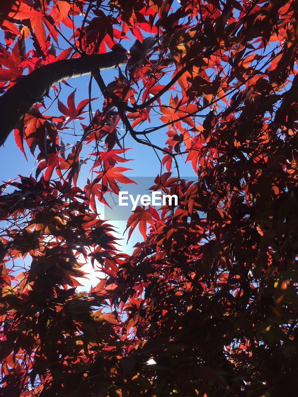 tree, plant, low angle view, growth, autumn, no people, branch, change, beauty in nature, leaf, nature, plant part, sky, outdoors, orange color, tranquility, red, day, sunlight, backgrounds, leaves, maple leaf, natural condition