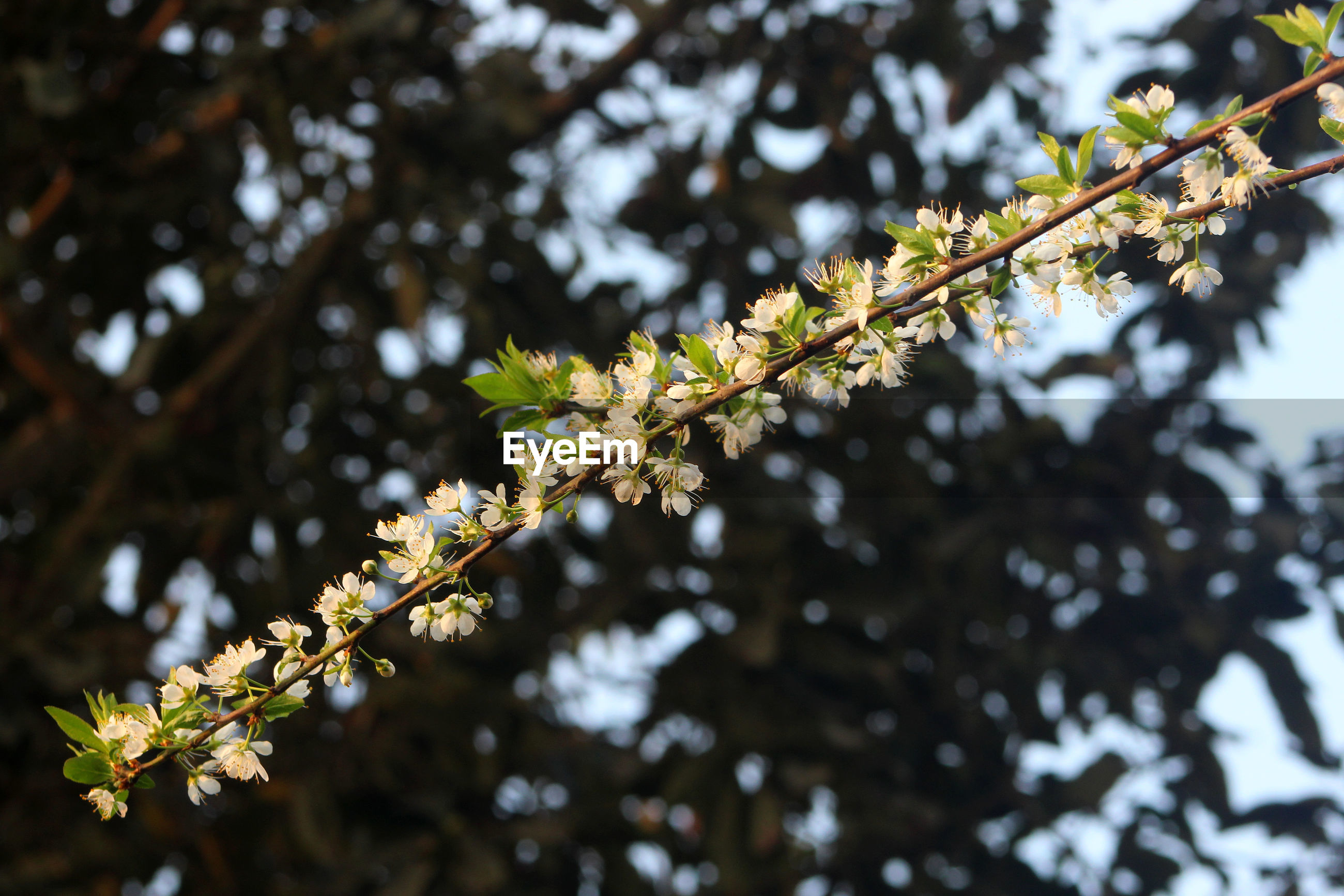 LOW ANGLE VIEW OF CHERRY BLOSSOM ON TREE