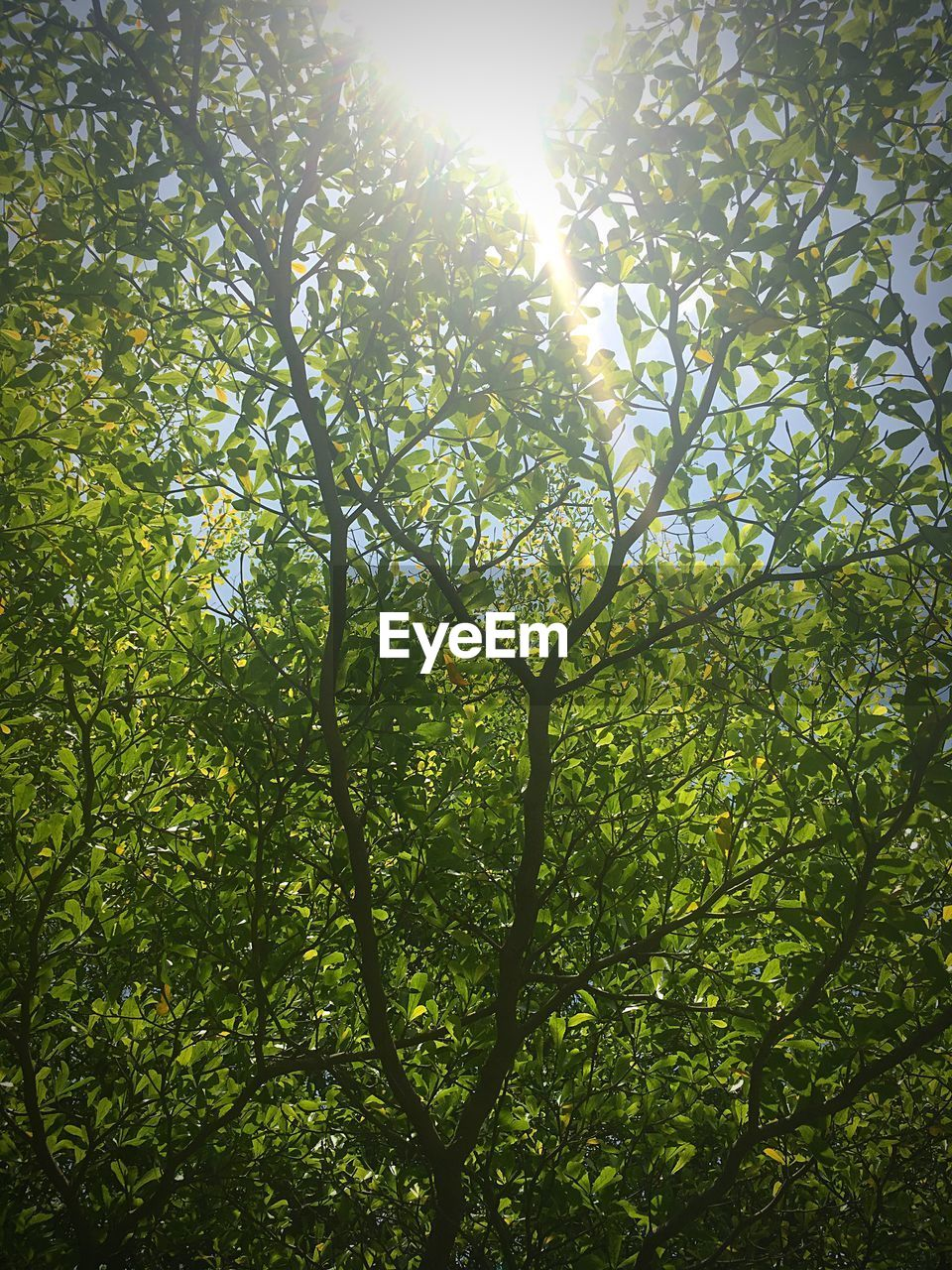 sunlight, sunbeam, lens flare, sun, tree, green color, growth, nature, low angle view, outdoors, day, no people, branch, leaf, beauty in nature, forest, sky, freshness