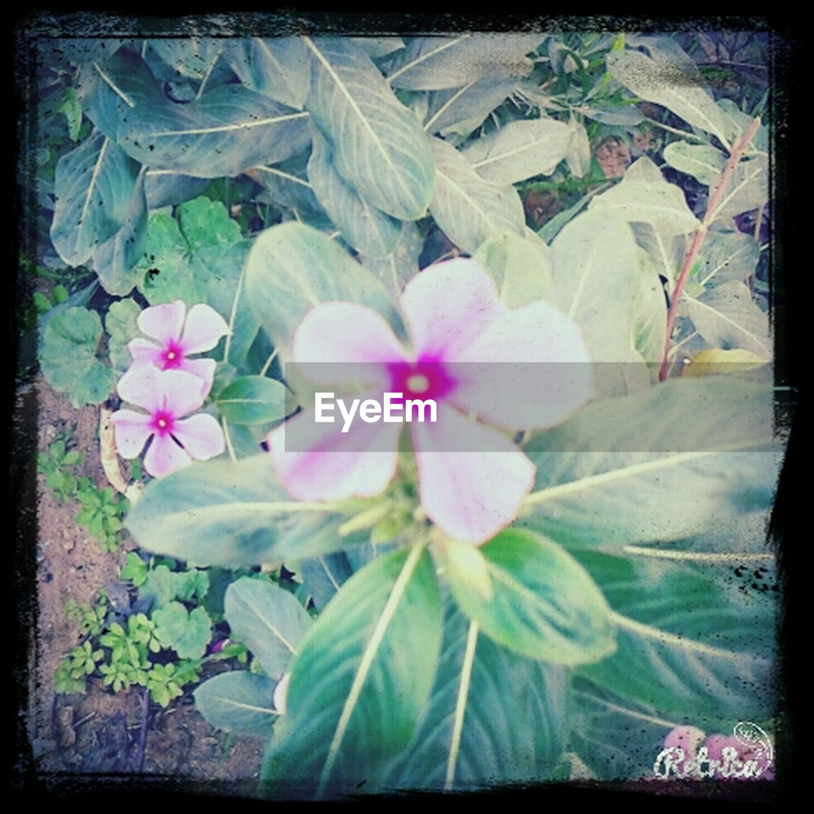 transfer print, flower, auto post production filter, freshness, fragility, growth, petal, plant, beauty in nature, leaf, flower head, nature, blooming, close-up, high angle view, in bloom, pink color, day, blossom, outdoors