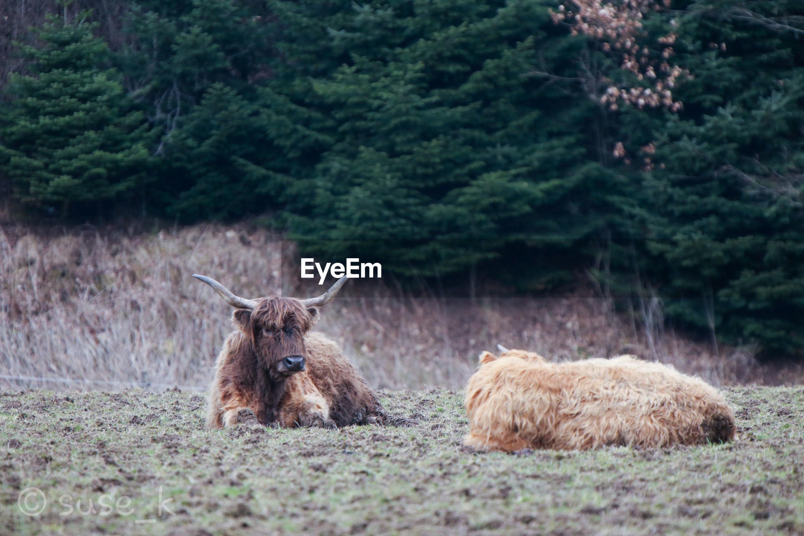 Cattles on field