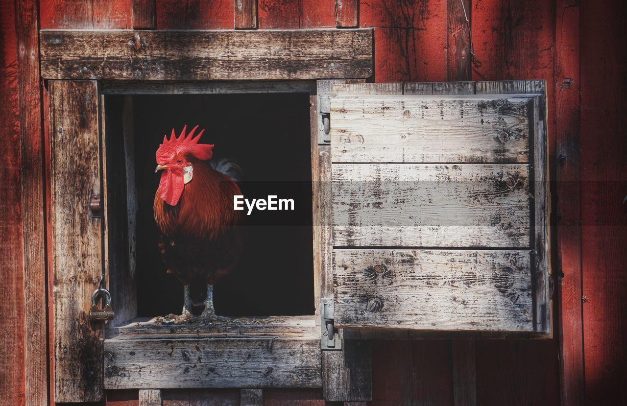 livestock, chicken - bird, bird, animal themes, animal, chicken, vertebrate, domestic animals, male animal, mammal, wood - material, domestic, one animal, pets, rooster, no people, day, door, entrance, built structure