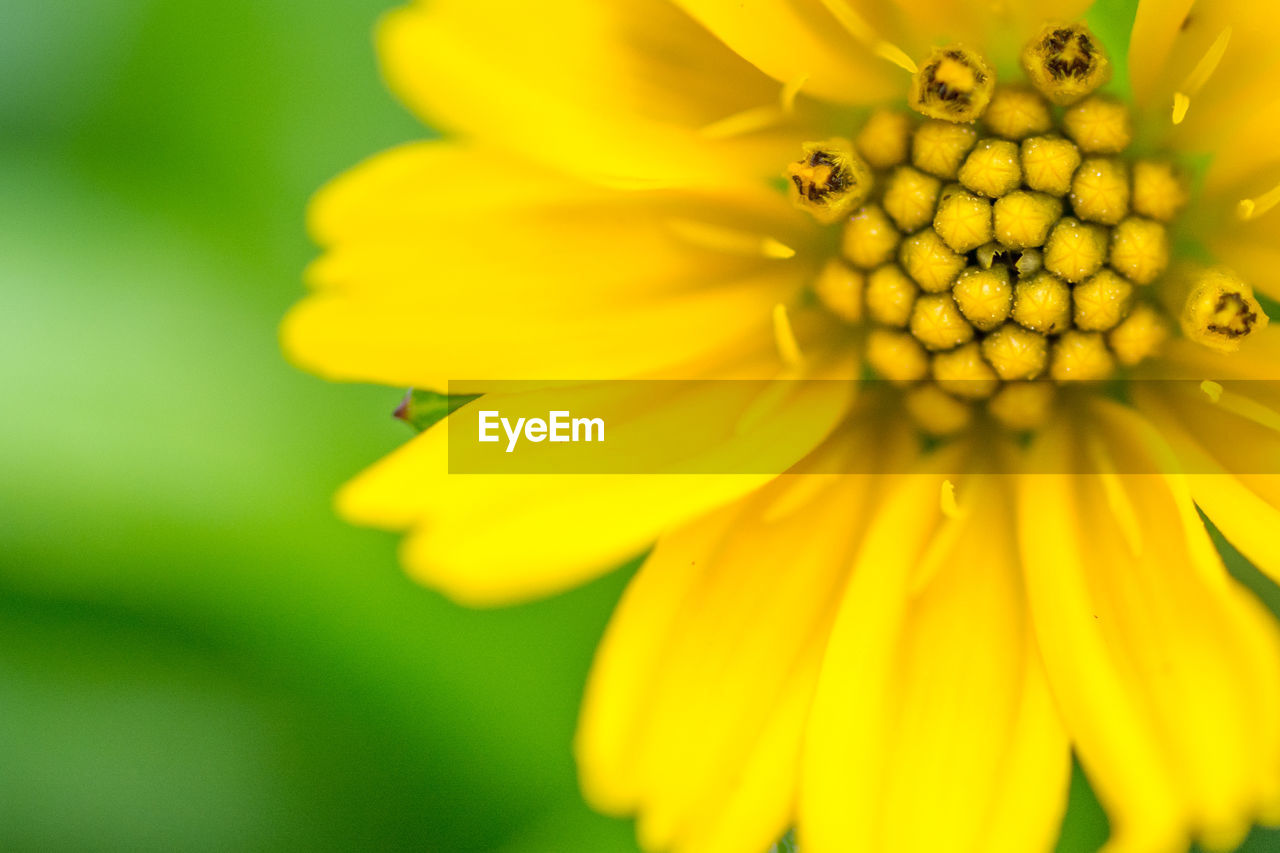 flower, flowering plant, fragility, vulnerability, petal, yellow, flower head, beauty in nature, freshness, growth, plant, inflorescence, close-up, pollen, nature, no people, day, selective focus, focus on foreground, outdoors