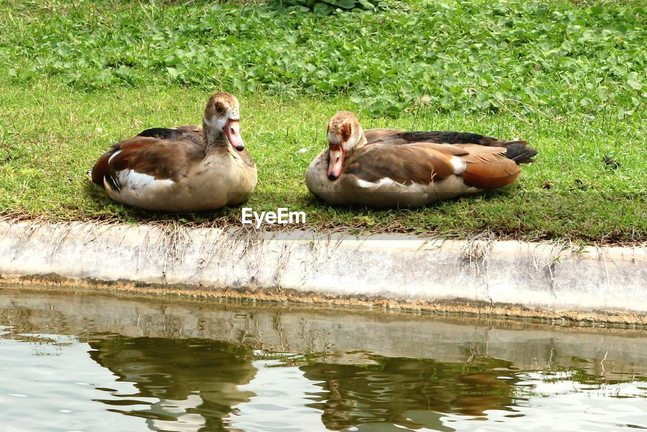 water, group of animals, lake, animal, animal themes, vertebrate, animals in the wild, animal wildlife, young animal, nature, day, bird, waterfront, reflection, no people, two animals, mammal, plant, grass, duck, outdoors, animal family