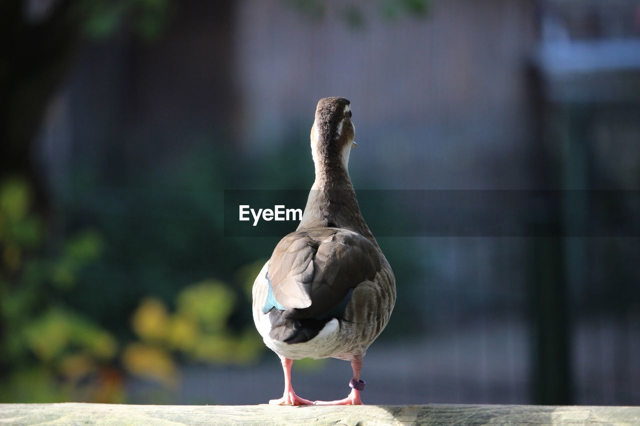 vertebrate, animal themes, animals in the wild, focus on foreground, bird, animal, animal wildlife, one animal, day, no people, perching, nature, full length, outdoors, wood - material, zoology, close-up, sunlight, selective focus, railing