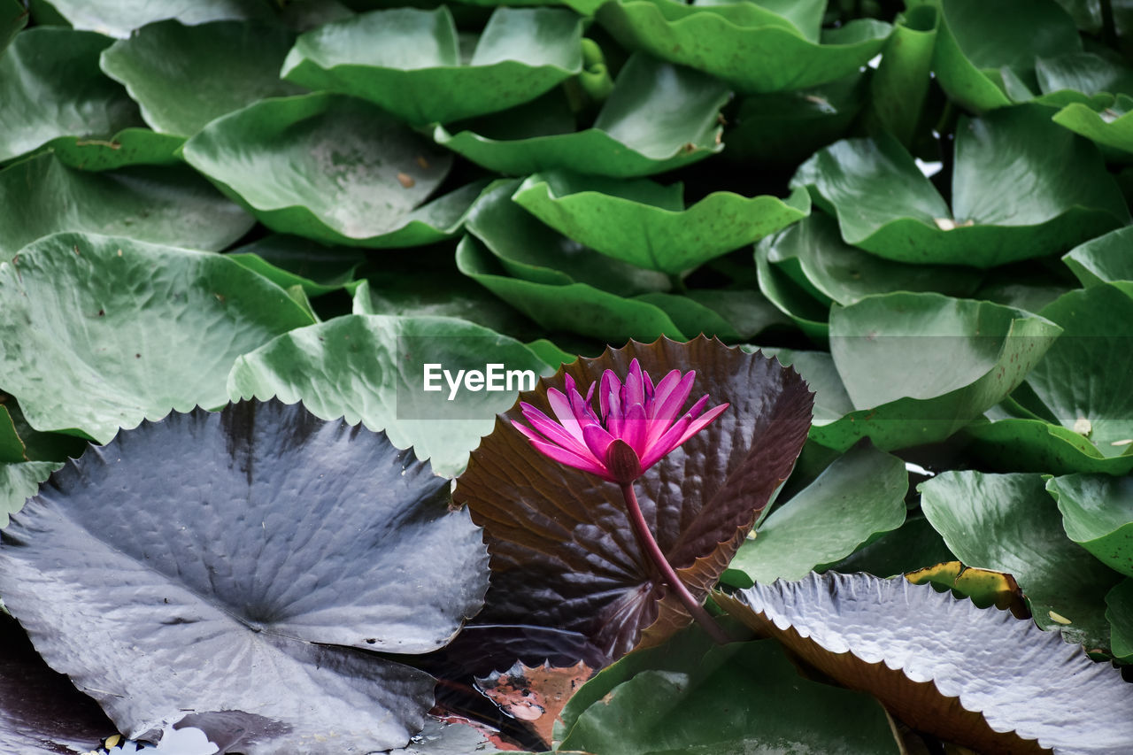 leaf, plant part, flower, plant, flowering plant, freshness, beauty in nature, close-up, green color, growth, inflorescence, flower head, vulnerability, fragility, petal, nature, no people, day, water lily, pink color, lotus water lily, floating on water, leaves, purple