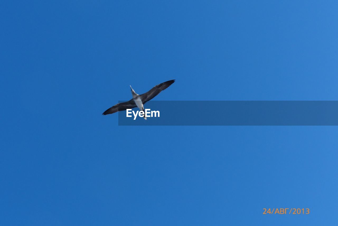 flying, vertebrate, low angle view, animal themes, bird, animal wildlife, animal, sky, blue, animals in the wild, spread wings, clear sky, one animal, mid-air, copy space, no people, day, nature, motion, seagull, outdoors