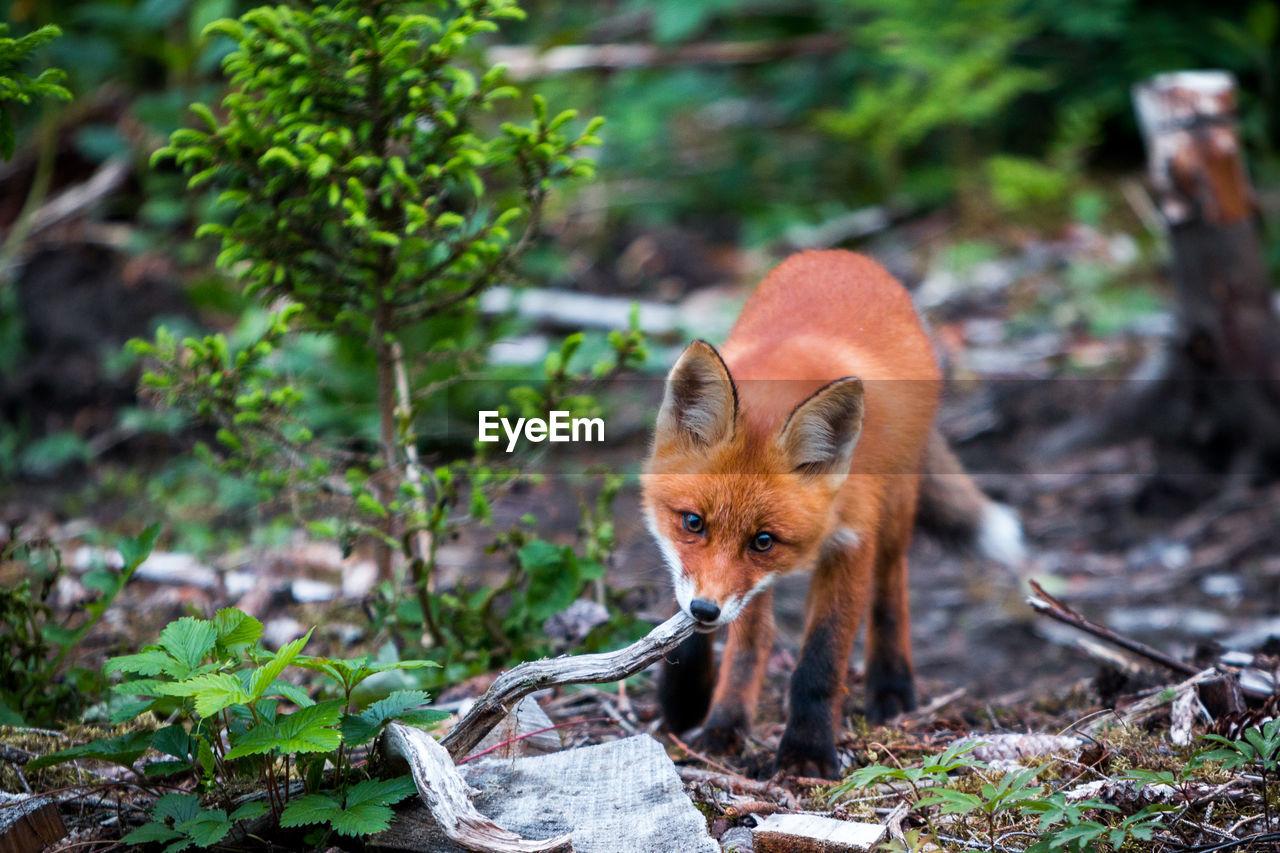 Fox Chewing Stick