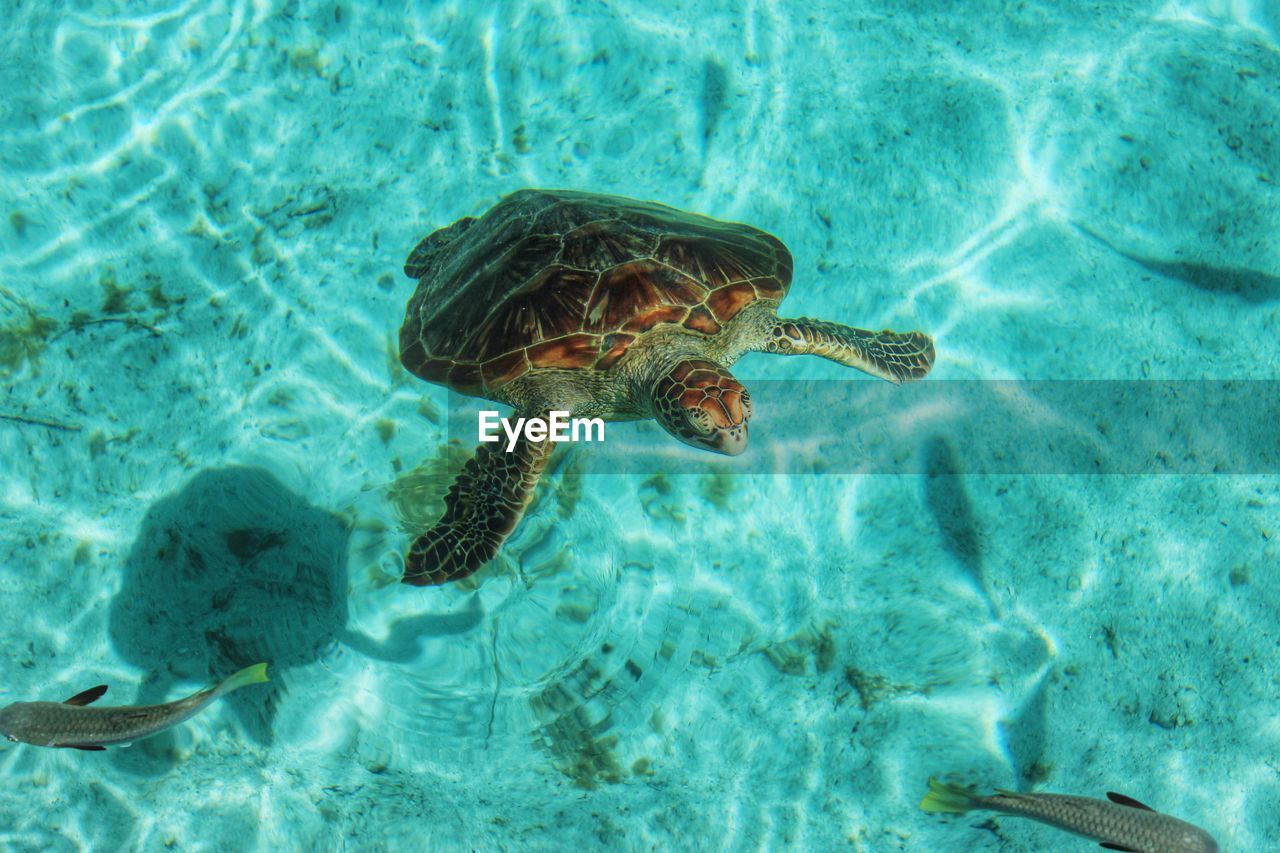 High Angle View Of Turtle And Fish Swimming In Sea