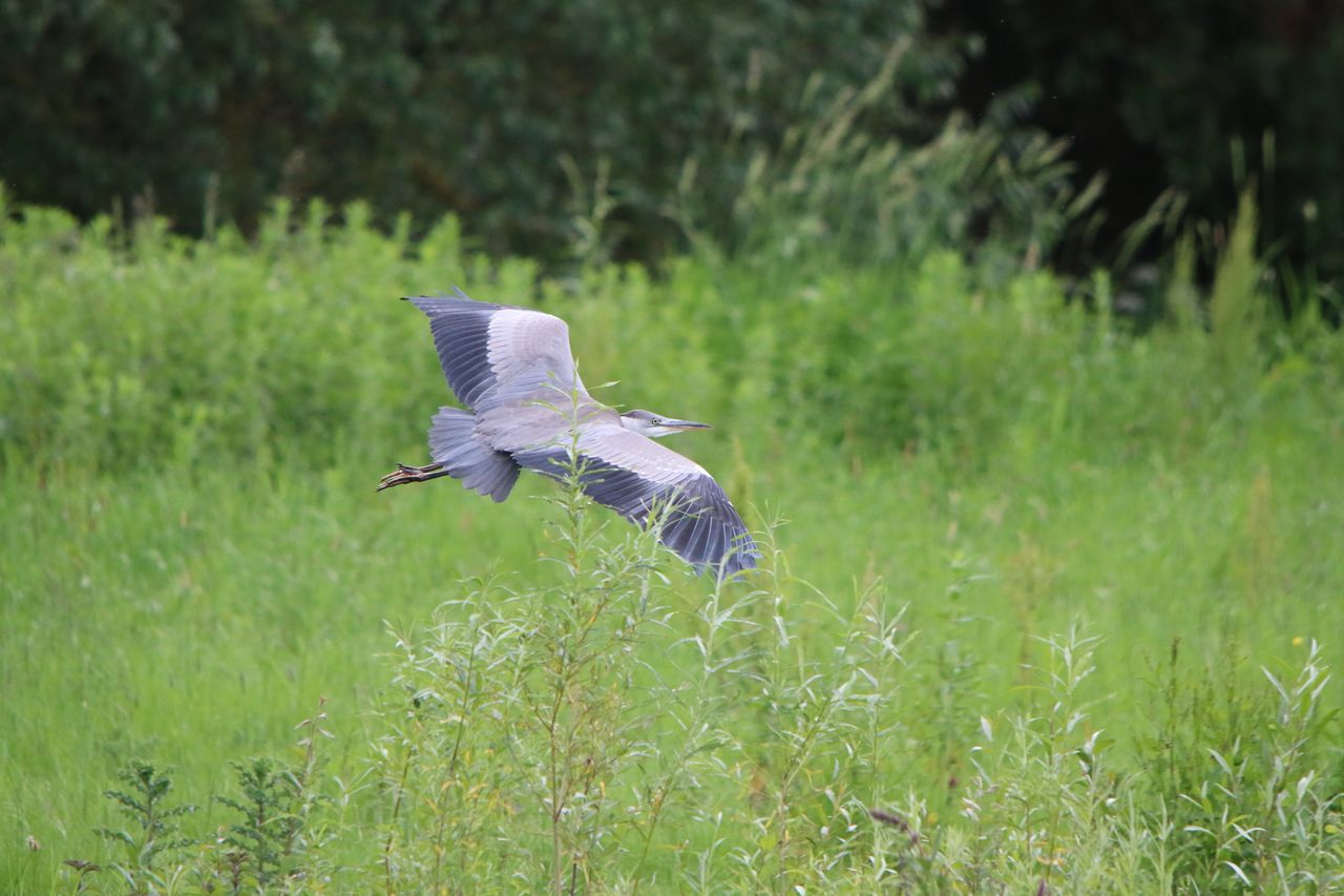Heron Flying Over Meadow