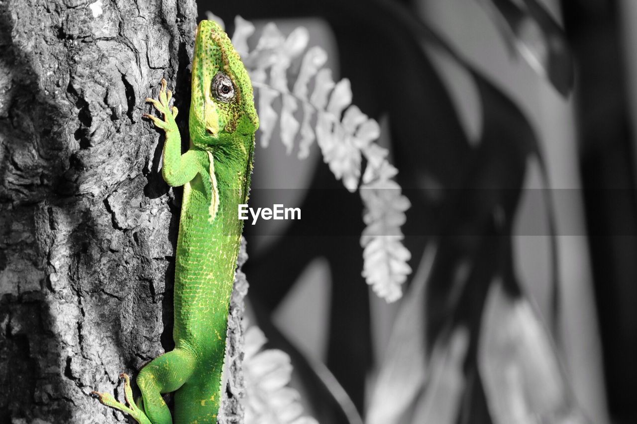 lizard, green color, reptile, one animal, animal themes, animals in the wild, tree trunk, animal wildlife, no people, close-up, day, chameleon, nature, outdoors, iguana