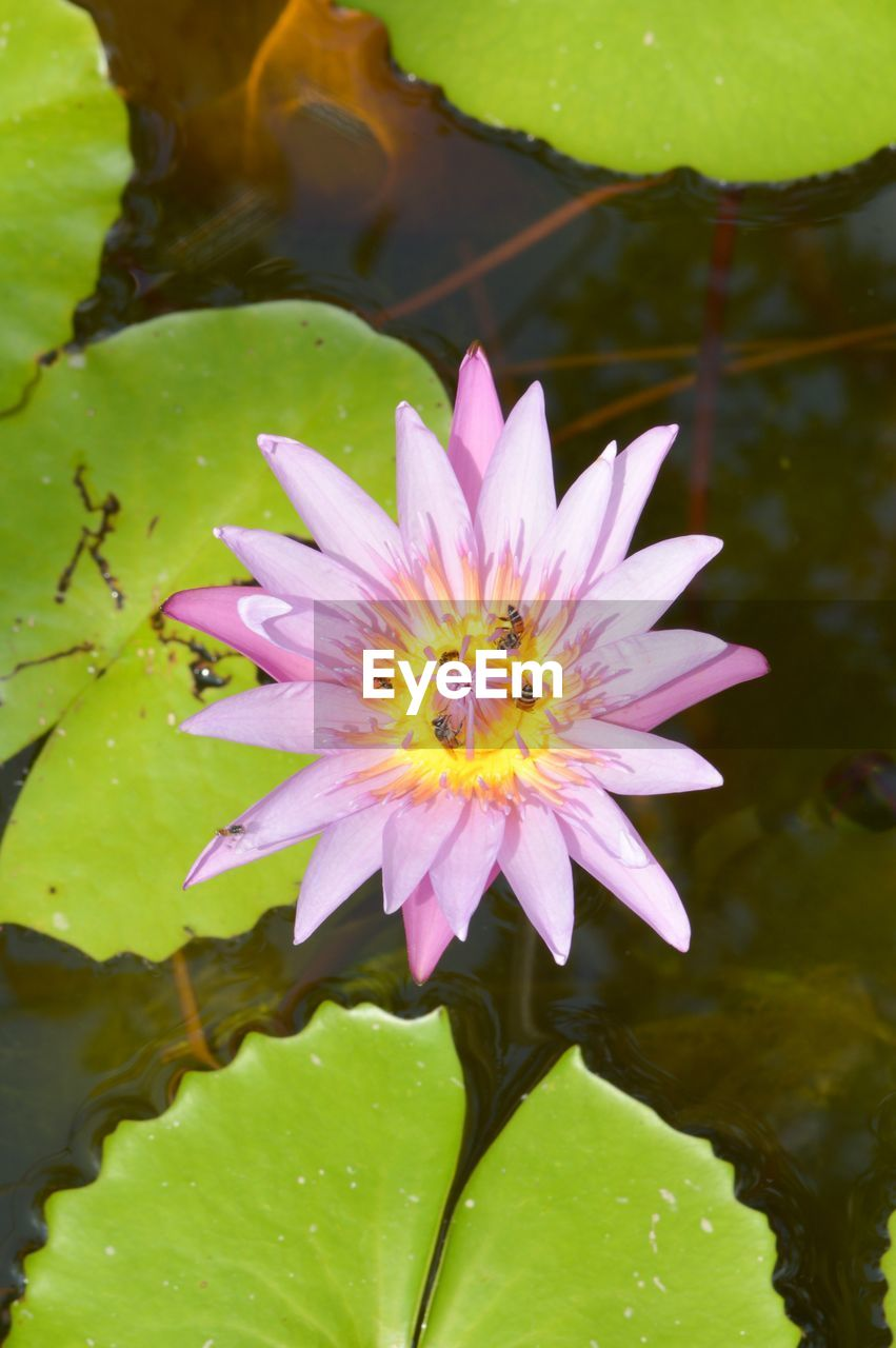 flower, petal, beauty in nature, nature, fragility, freshness, water, flower head, growth, plant, water lily, day, outdoors, leaf, no people, close-up, pollen, floating on water, lotus water lily, sunlight, one animal, blooming, lake, animal themes, lily pad