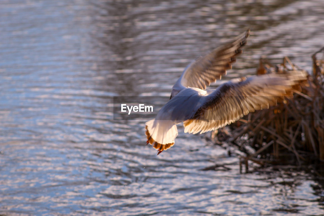 animal wildlife, animal, animal themes, animals in the wild, flying, bird, vertebrate, spread wings, one animal, water, no people, motion, nature, lake, mid-air, day, waterfront, outdoors, zoology, seagull, flapping, eagle
