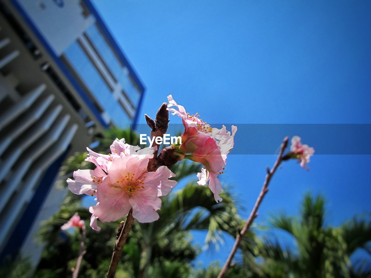 flower, fragility, growth, freshness, beauty in nature, nature, no people, petal, low angle view, day, animals in the wild, clear sky, outdoors, pink color, animal themes, one animal, flower head, building exterior, insect, architecture, blooming, plant, tree, bee, close-up, buzzing, sky