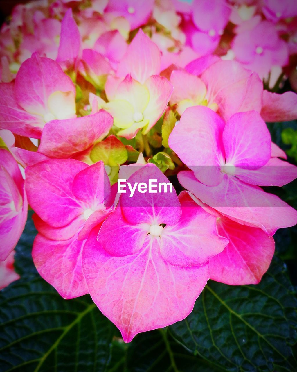 flower, pink color, petal, beauty in nature, growth, freshness, flower head, fragility, nature, close-up, no people, plant, blooming, outdoors, day, periwinkle, petunia