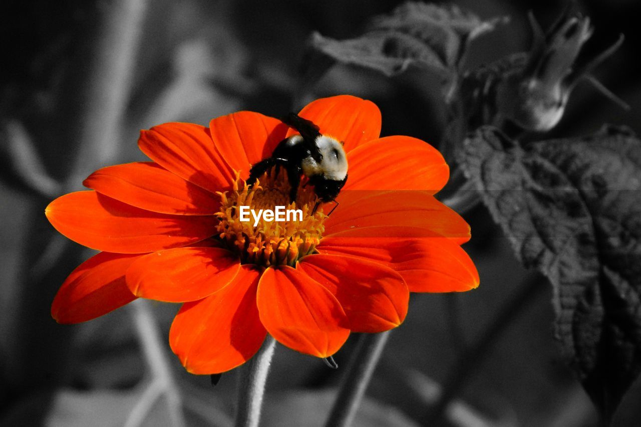 flower, petal, animal themes, one animal, freshness, insect, animals in the wild, fragility, beauty in nature, nature, flower head, no people, pollen, animal wildlife, plant, growth, focus on foreground, close-up, outdoors, day, pollination, bee, zinnia