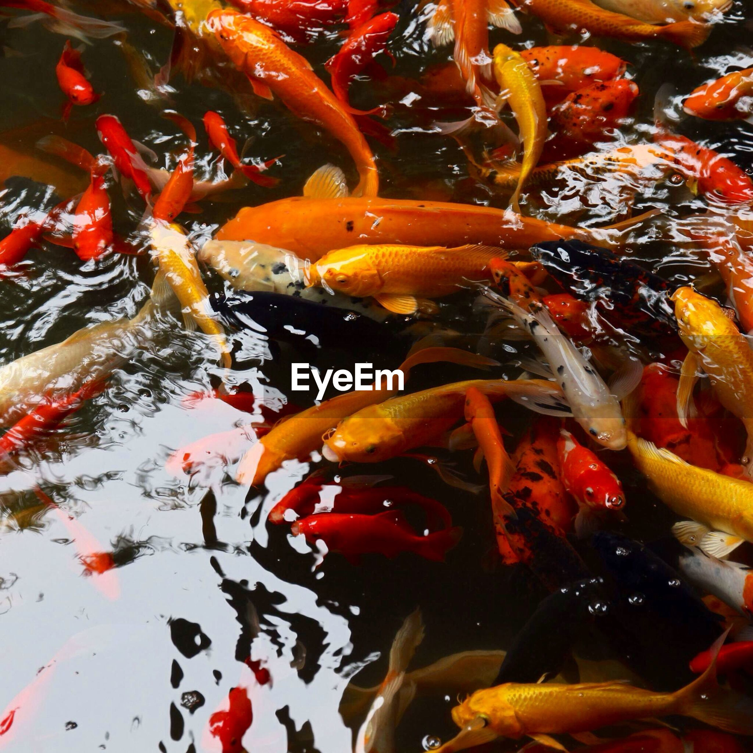 water, fish, animal themes, full frame, swimming, orange color, sea life, school of fish, koi carp, backgrounds, nature, close-up, pond, animals in the wild, wildlife, high angle view, underwater, no people, beauty in nature