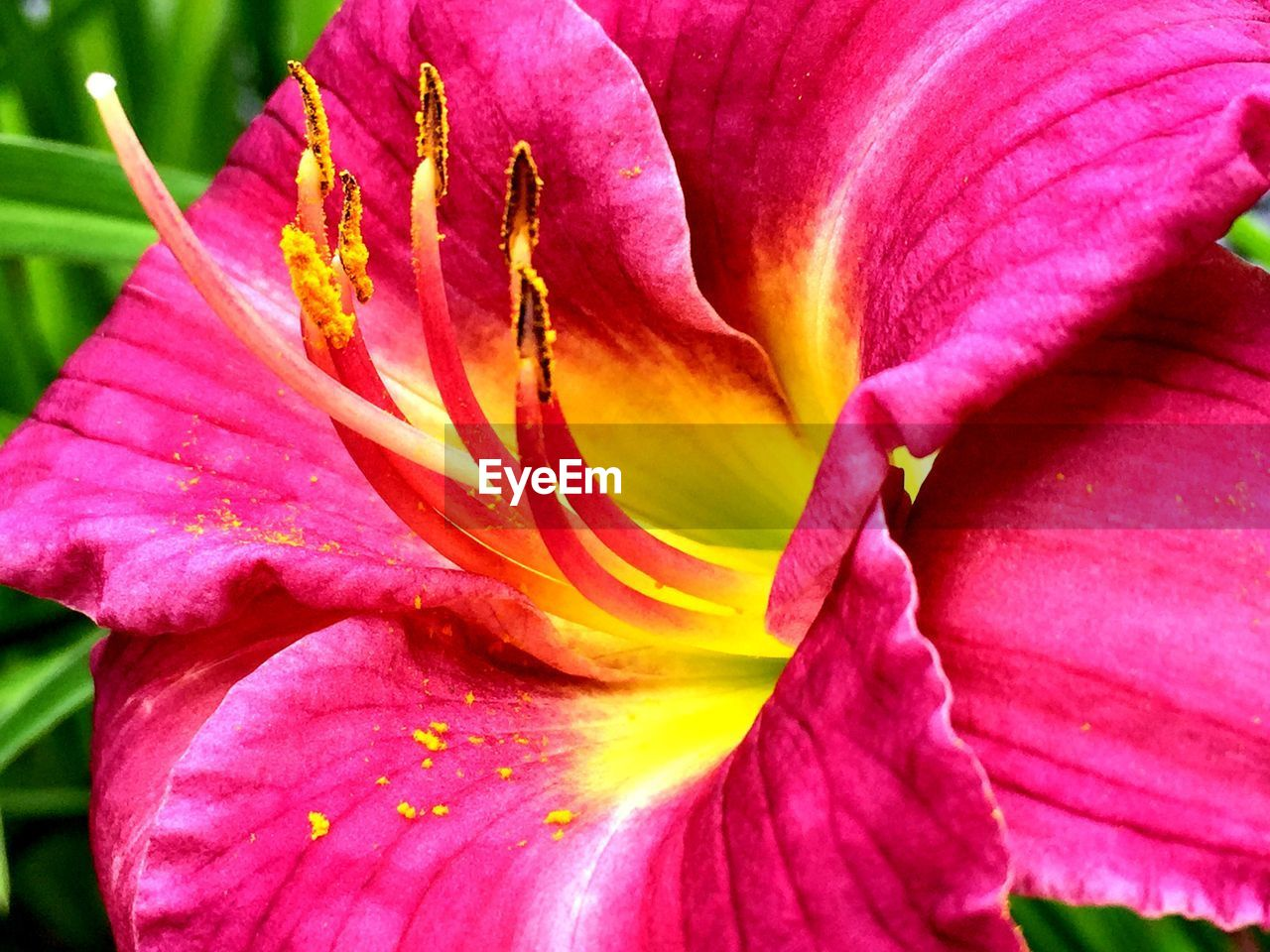 flower, petal, beauty in nature, fragility, nature, flower head, growth, freshness, pink color, no people, close-up, backgrounds, full frame, stamen, outdoors, blooming, plant, day, day lily
