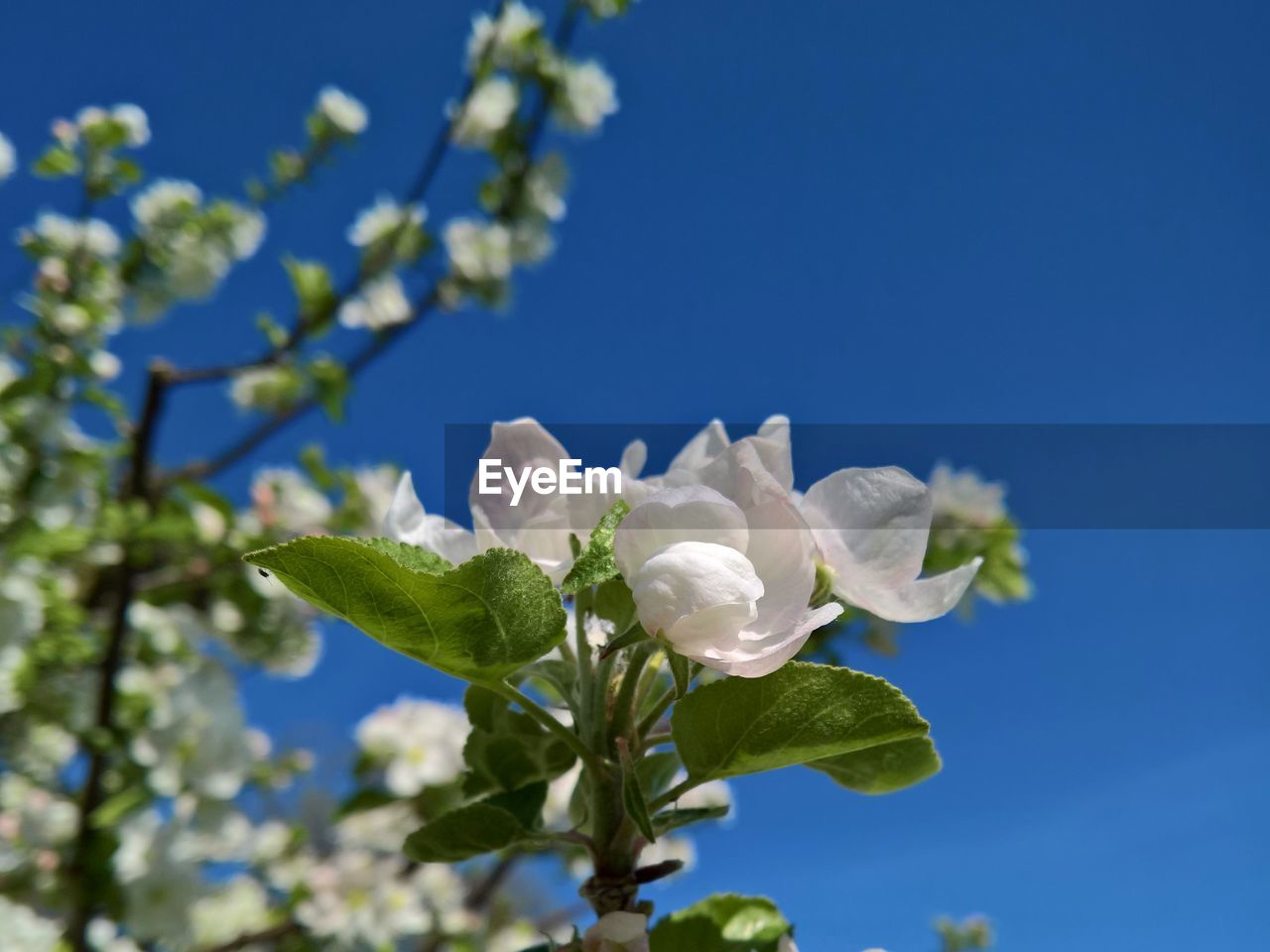 flower, flowering plant, plant, beauty in nature, growth, freshness, vulnerability, fragility, white color, blue, petal, sky, close-up, leaf, nature, plant part, low angle view, day, no people, flower head, outdoors, springtime