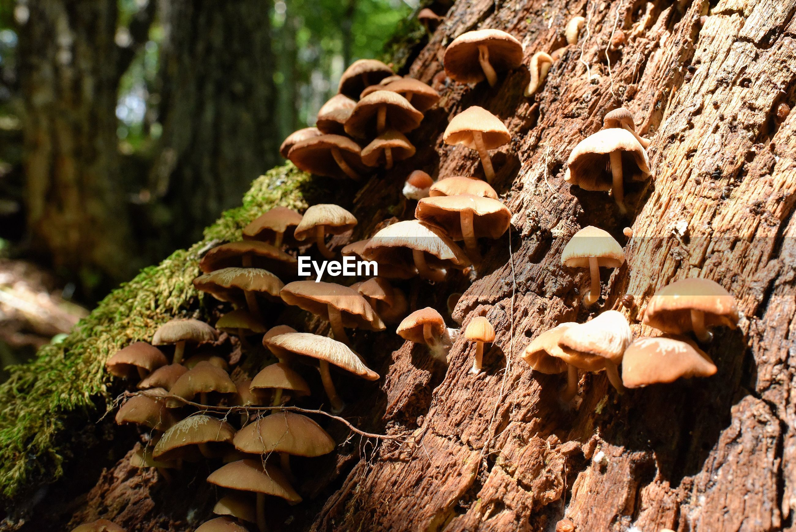 tree, mushroom, nature, fungus, no people, close-up, day, plant, tree trunk, growth, trunk, toadstool, land, food, forest, tranquility, selective focus, wood - material, beauty in nature, vegetable, outdoors, surface level, bark