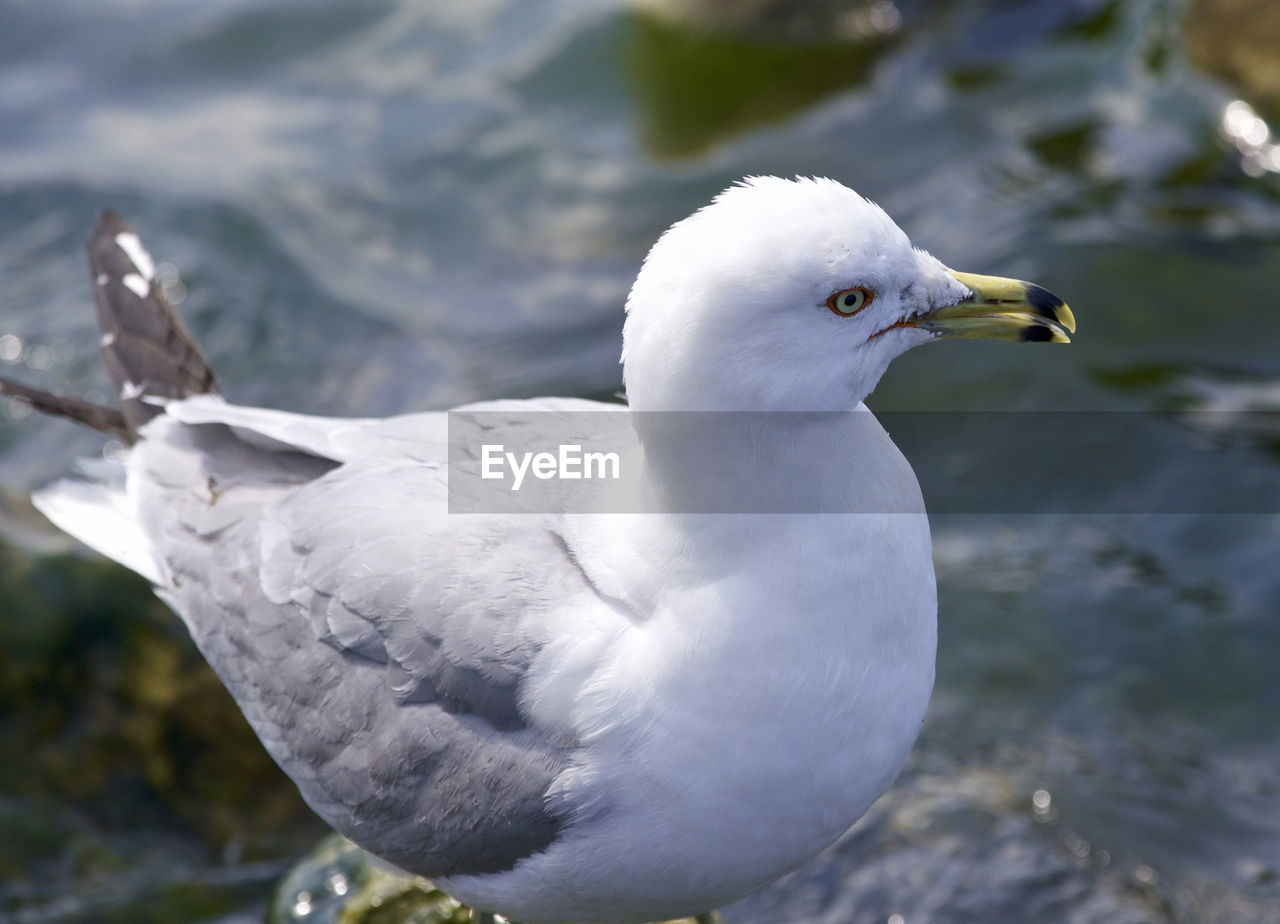animal themes, bird, animal, animals in the wild, vertebrate, one animal, animal wildlife, seagull, white color, focus on foreground, close-up, day, no people, nature, water, sea bird, outdoors, sea, perching