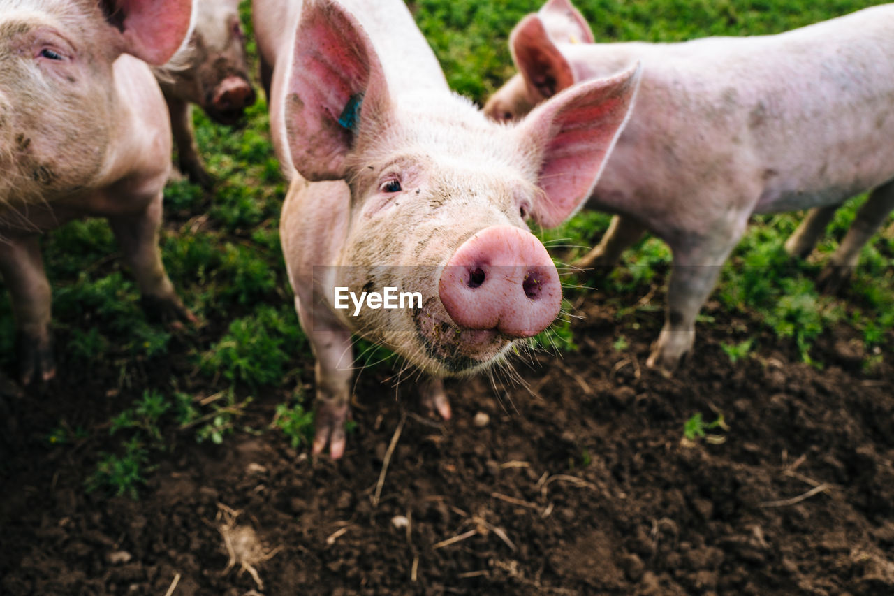 Portrait Of Pig Standing In Farm