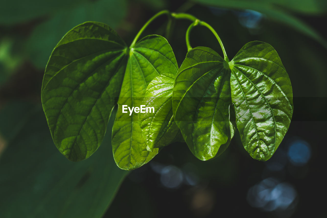 plant part, leaf, green color, plant, growth, close-up, focus on foreground, no people, beauty in nature, nature, freshness, day, selective focus, outdoors, food and drink, food, leaf vein, leaves, sunlight