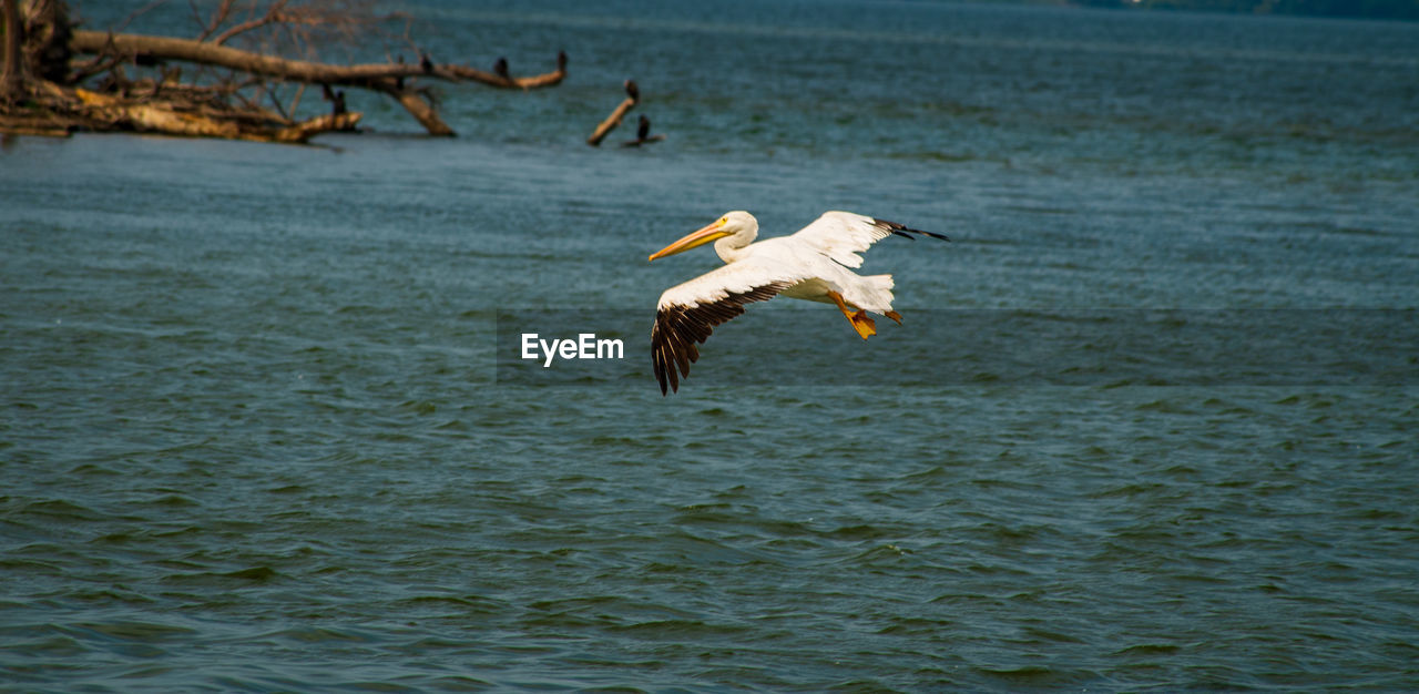 flying, animal wildlife, animals in the wild, animal, water, animal themes, vertebrate, bird, spread wings, one animal, nature, no people, day, mid-air, sea, waterfront, beauty in nature, outdoors, eagle, stork