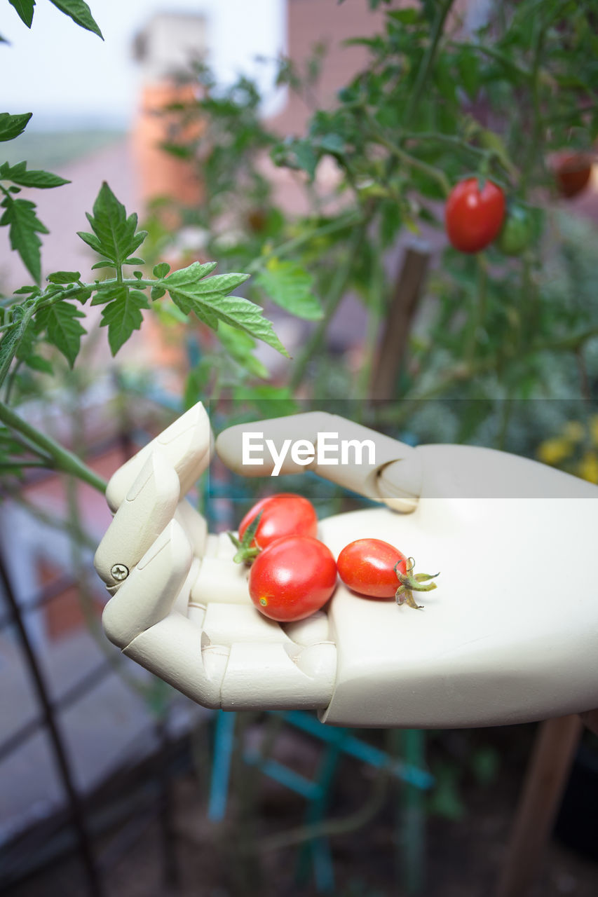 focus on foreground, food and drink, food, tomato, plant, fruit, human hand, close-up, red, hand, vegetable, healthy eating, leaf, freshness, plant part, one person, human body part, day, holding, real people, body part, finger, outdoors, herb, ripe