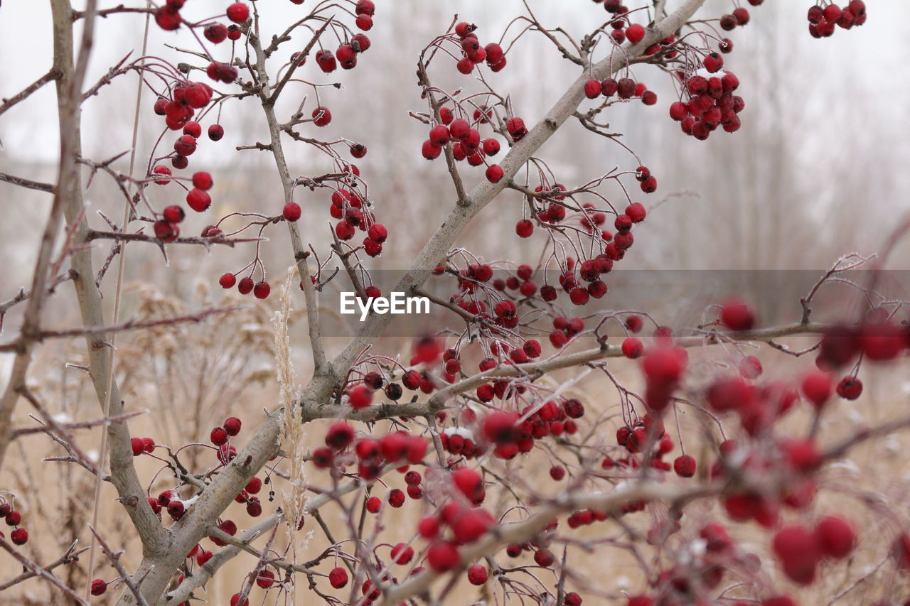 branch, tree, beauty in nature, fruit, nature, growth, no people, red, freshness, flower, food and drink, day, close-up, outdoors, rowanberry, springtime, fragility, food