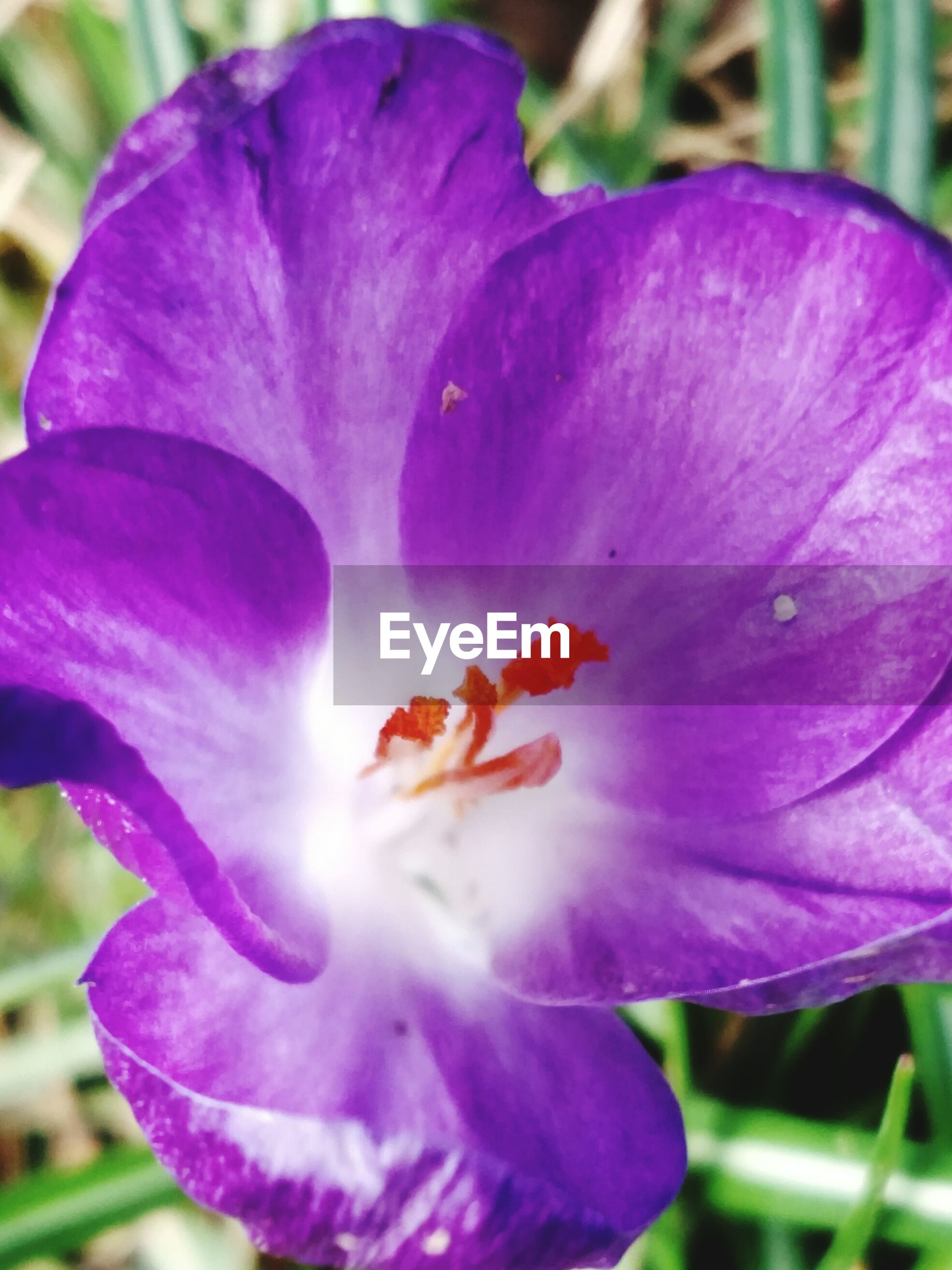 flower, petal, purple, beauty in nature, freshness, fragility, nature, growth, flower head, close-up, no people, stamen, outdoors, day, plant, blooming