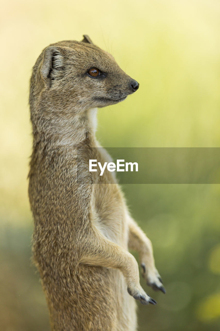 one animal, mammal, animals in the wild, animal wildlife, animal themes, meerkat, no people, nature, outdoors, close-up, day