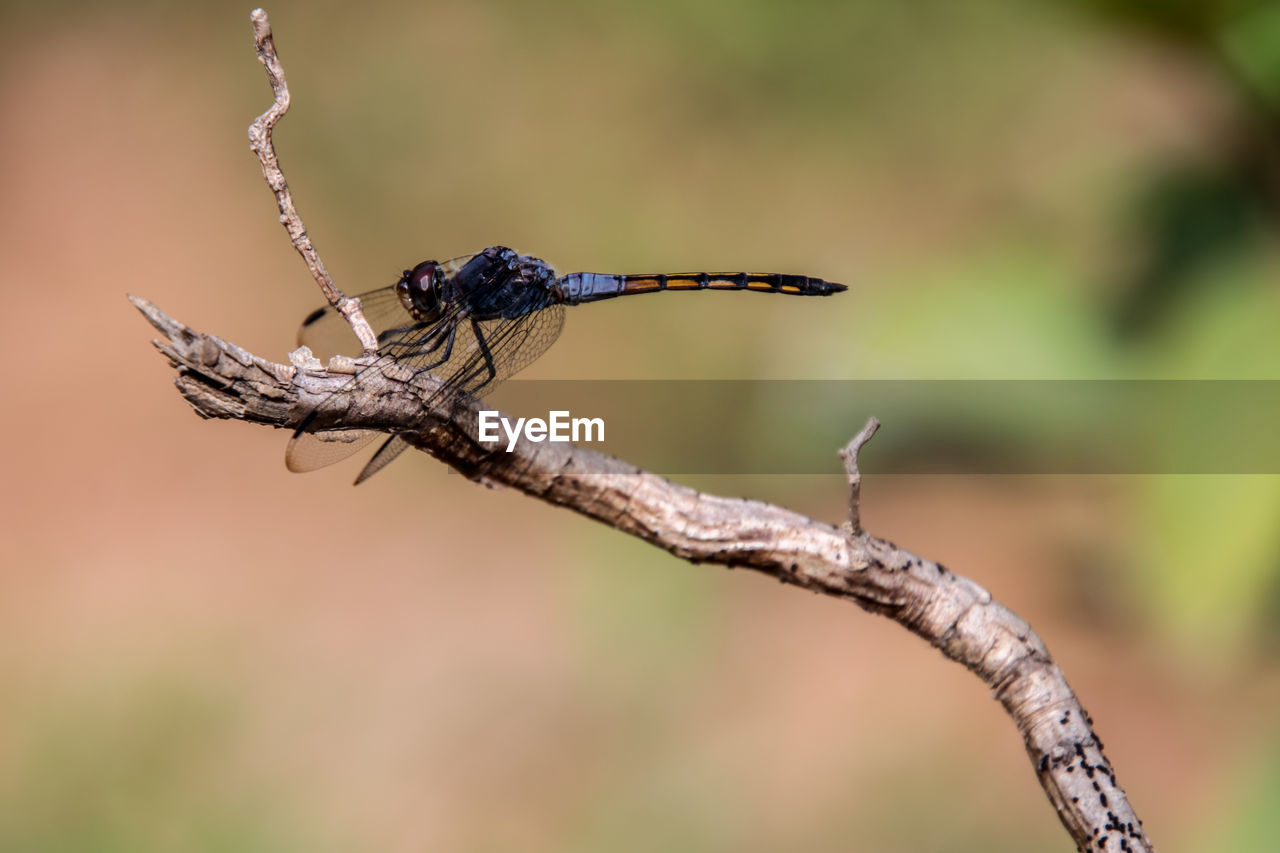 CLOSE-UP OF DRAGONFLY ON TWIGS
