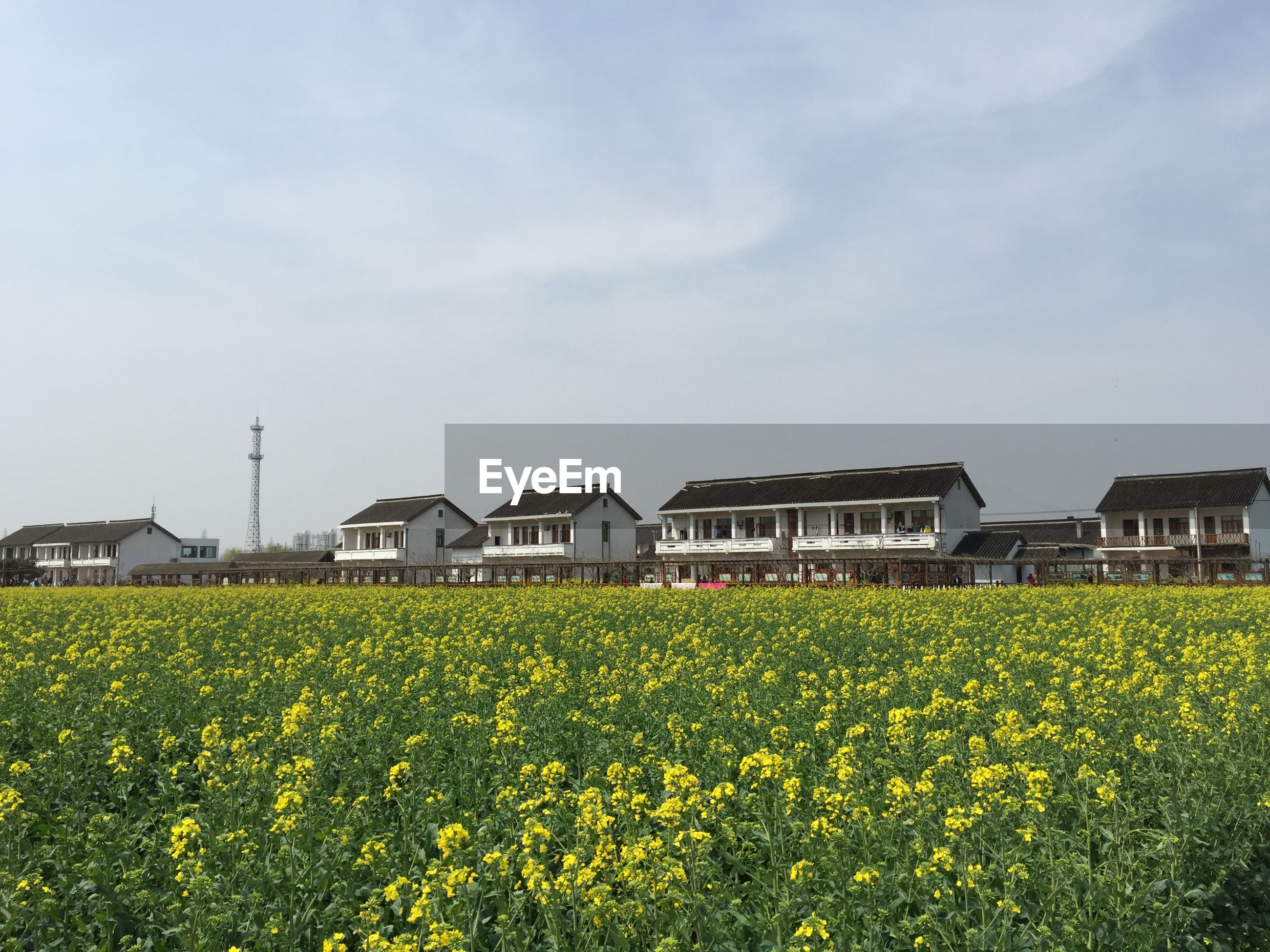 flower, yellow, field, building exterior, growth, architecture, freshness, built structure, sky, rural scene, beauty in nature, agriculture, nature, plant, fragility, farm, house, landscape, blooming, day