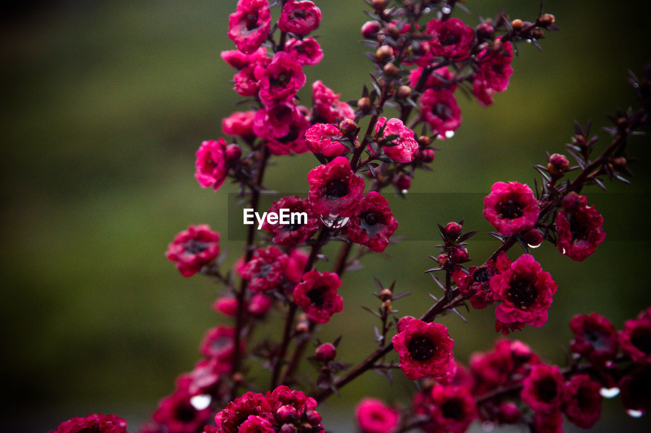 growth, beauty in nature, flowering plant, flower, plant, freshness, close-up, pink color, focus on foreground, vulnerability, fragility, nature, day, selective focus, no people, outdoors, berry fruit, petal, red, flower head, purple, lilac, bunch of flowers