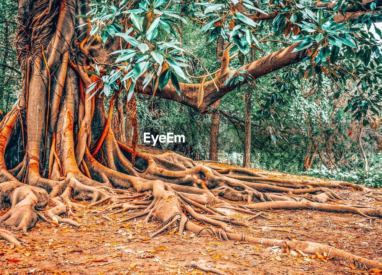 tree, root, plant, plant part, forest, land, nature, growth, tree trunk, trunk, day, tranquility, no people, beauty in nature, leaf, non-urban scene, branch, outdoors, environment, landscape, woodland, complexity, tangled, change, dead plant, leaves, intertwined