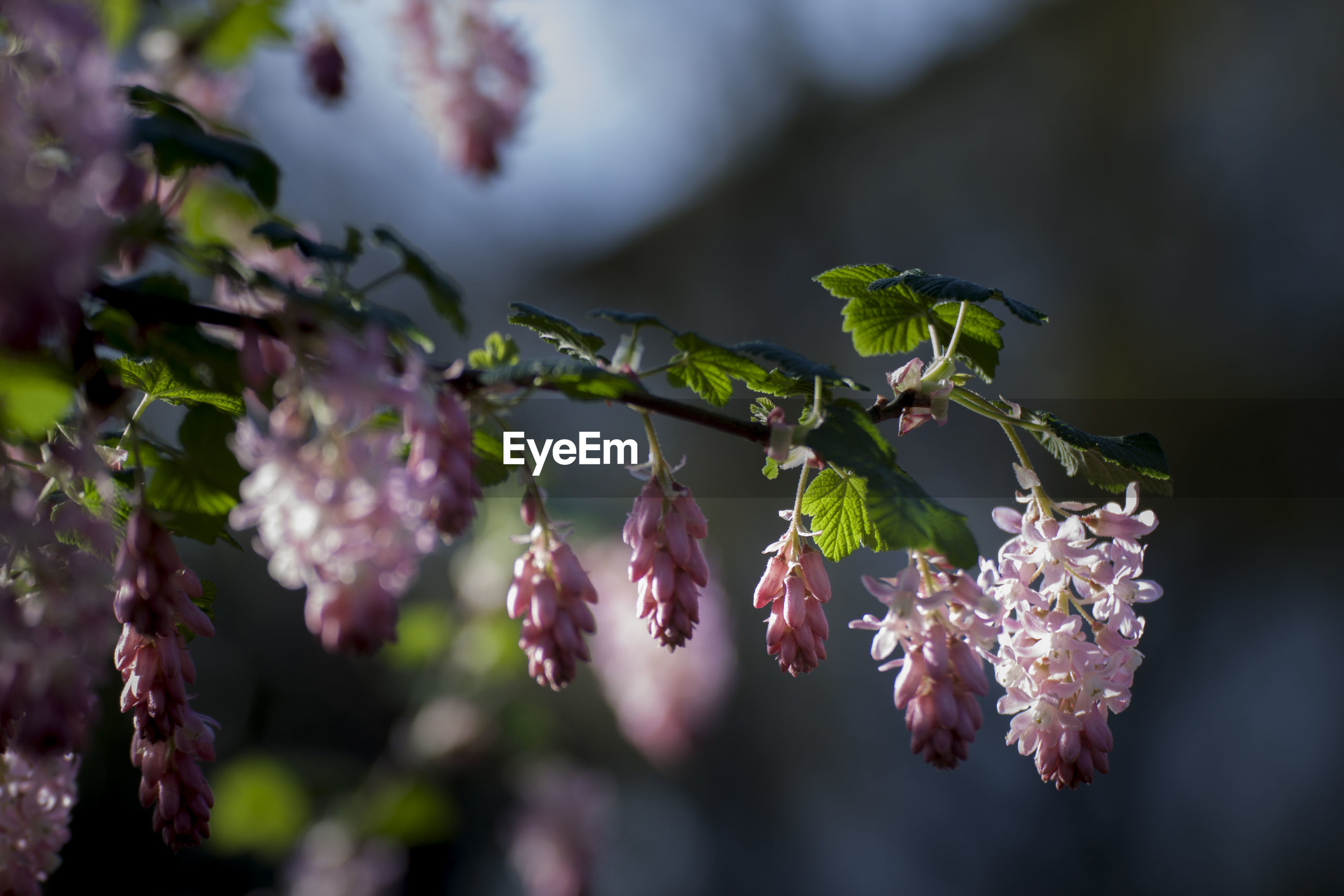 CLOSE-UP OF FRESH PINK FLOWERS ON BRANCH