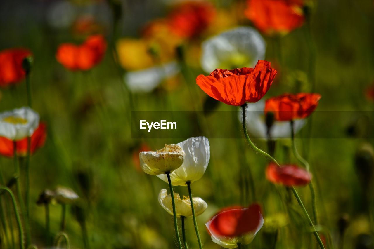 flower, flowering plant, vulnerability, beauty in nature, fragility, plant, freshness, growth, petal, close-up, inflorescence, flower head, focus on foreground, plant stem, nature, poppy, red, field, no people, day