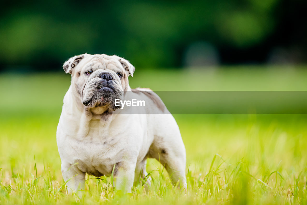 animal themes, one animal, mammal, domestic, dog, pets, domestic animals, canine, animal, grass, plant, green color, nature, day, portrait, field, vertebrate, no people, land, looking at camera, small