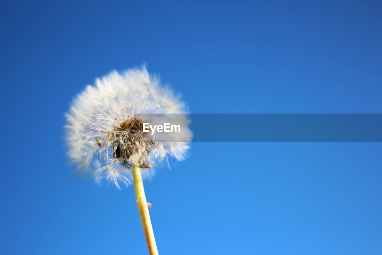 flower, flowering plant, fragility, vulnerability, freshness, plant, dandelion, blue, nature, copy space, beauty in nature, close-up, sky, inflorescence, flower head, growth, no people, clear sky, day, outdoors, softness, dandelion seed