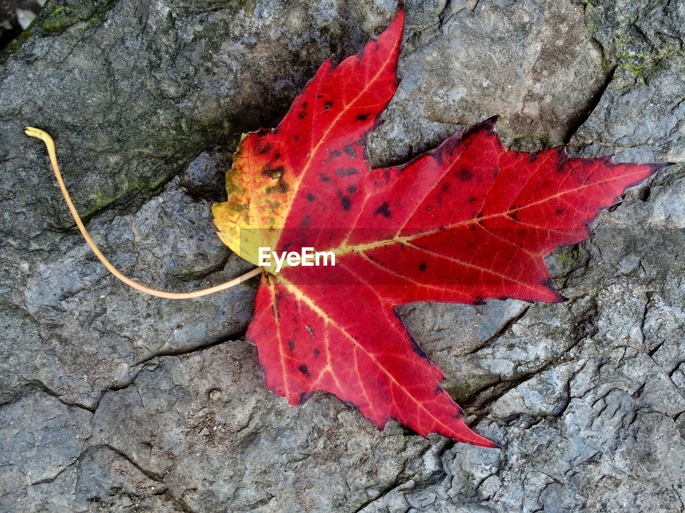 CLOSE-UP OF FALLEN MAPLE LEAF ON AUTUMN LEAVES
